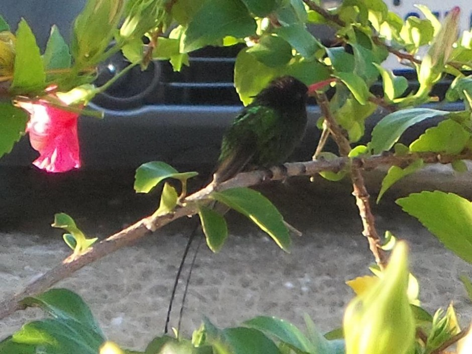 A doctor bird in the hibiscus bush